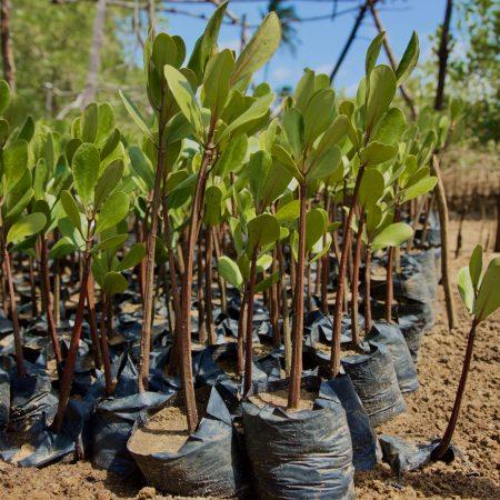 Mangroves protect the coastline